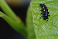 Ochránce JT - larva slunéčka sedmitečného