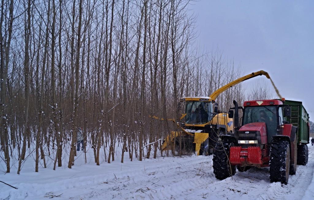 Těžba porostu RRD - stroj zvládne rozštěpkovat stromy do průměru 15 cm