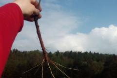 Jak velký strom tak velké kořeny