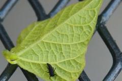 Mladá larva slunéčka sedmitečného