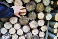 Japonský topol - dřevo 3